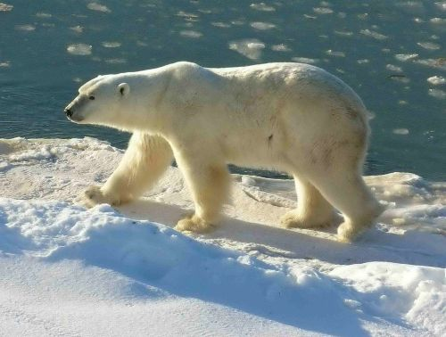Polar_Bear_2004-11-15_Wapusk Nat Park_Wikipedia