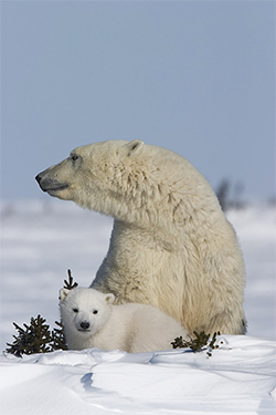 Hudson Bay female with cub_Wapusk_Thorsten Milse_Gov CA