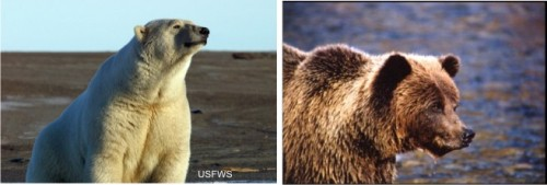 Polar bear grizzly profiles_composite_Sept 15