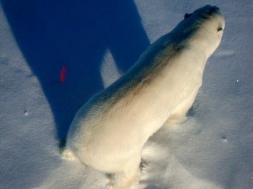 Polar bear with dart_bear_570_2012 Kane Basin_M Dyck photo
