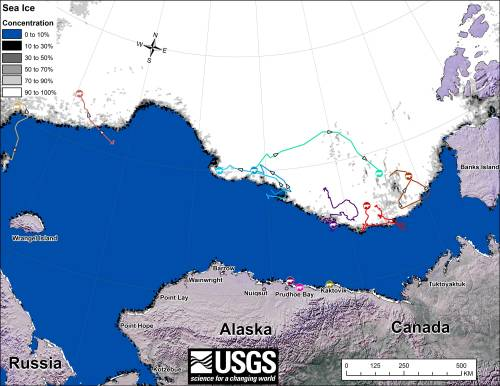 "Figure 1. Original caption: ""Movements of 12 [sic] satellite-tagged polar bears for the month of September, 2014. Polar bears were tagged in 2014 on the spring-time sea ice of the southern Beaufort Sea. All twelve [sic] of these bears have satellite collar transmitters. Polar bear satellite telemetry data are shown with AMSR2 remotely-sensed ice coverage for 30 September, 2014. AMSR2 data are made available by the University of Bremen."" Click to enlarge."
