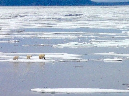 """A female polar bear and her two cubs dash across the ice near Gjoa Haven, where the polar bear hunt has been limited for nearly 15 years. (PHOTO BY JANE GEORGE)"" Story here, also by Jane George."
