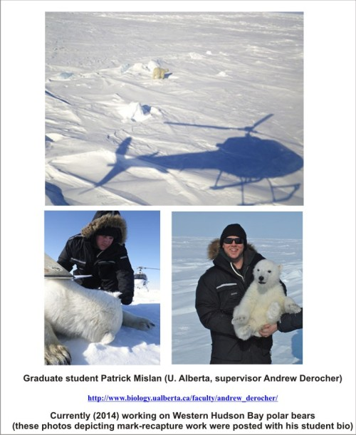 U Alberta student Mislan bio photos_PolarBearScience