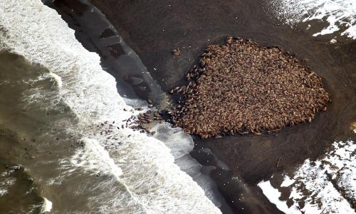 Walruses at Point Lay Sept 27 2014 NOAA CMDA0007_sm