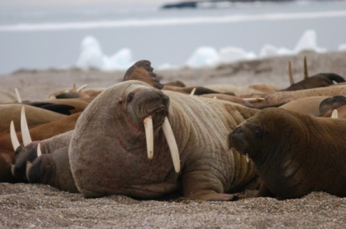 "Figure 1. Walrus females and calves hauled out on a beach in Svalbard, photo accompanying an October 6, 2014 news report in ""Eye on the Arctic"" of the rapidly increasing Atlantic walrus population there. (Photo: Thomas Nilsen/Barents Observer)."
