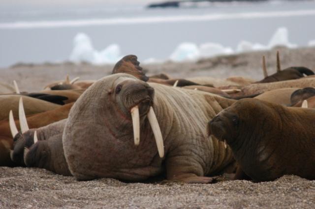 """Résultat de recherche d'images pour """"walrus females with calves"""""""