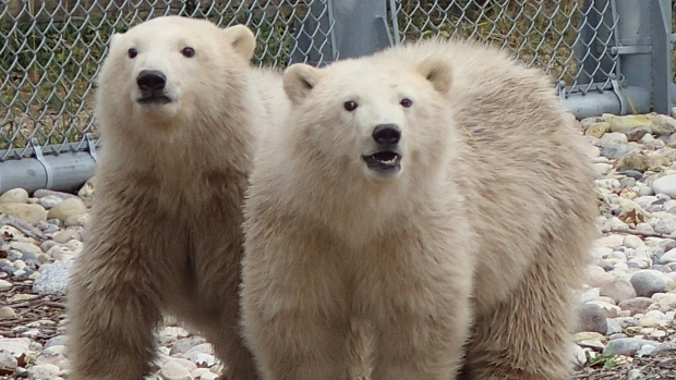 Zoo polar-bear orphan cubs 11 mos_Assiniboine_Oct 27 2014