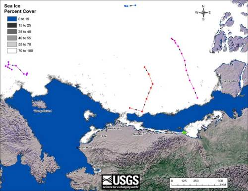 Figure 5. Movements of satellite-tagged polar bears for the month of October, 2010 in the Southern Beaufort Sea. Original