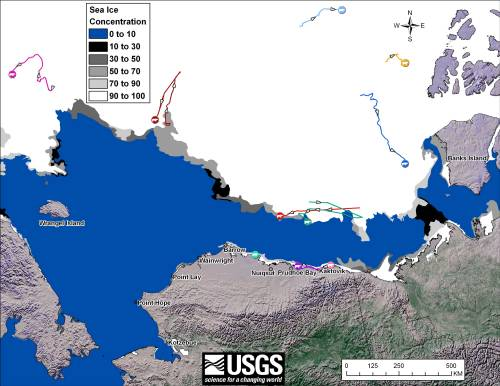 Figure 4. Movements of satellite-tagged polar bears for the month of October, 2011 in the Southern Beaufort Sea. Original here.