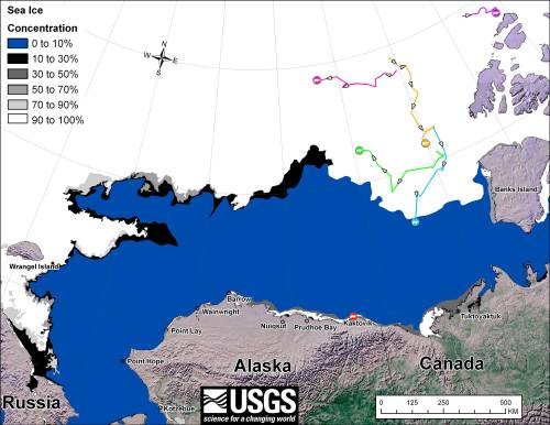 Figure 3. Movements of satellite-tagged polar bears for the month of October, 2012 in the Southern Beaufort Sea. Original here.