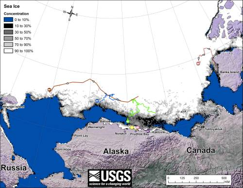 Figure 2. Movements of satellite-tagged polar bears for the month of October, 2013 in the Southern Beaufort Sea. Original here.