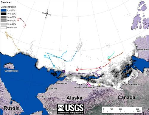 Fig. 1. Movements of 12 satellite-tagged polar bears for the month of October, 2014. Polar bears were tagged in 2014 on the spring-time sea ice of the southern Beaufort Sea. All twelve of these bears have satellite collar transmitters. Polar bear satellite telemetry data are shown with AMSR2 remotely-sensed ice coverage for 31 October, 2014. Click on the above image to enlarge. [looks like the 12th bear is a light pink icon (seen in the July map, with a track only visible on the August map) under one of the others onshore]