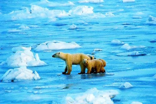 Polar bears off Churchill_2000-11-20_wikipedia