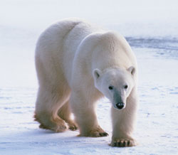polarbear_new_USGS