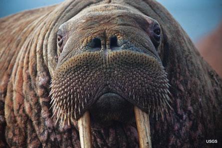 Walrus puss_USGS_IMG_4763