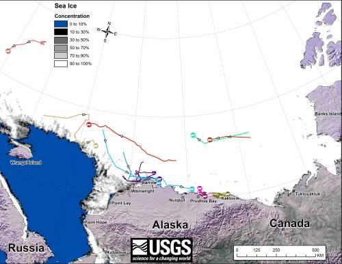 "Figure 1. Original caption: ""Movements of 12 satellite-tagged polar bears for the month of November, 2014. Polar bears were tagged in 2014 on the spring-time sea ice of the southern Beaufort Sea. All twelve of these bears have satellite collar transmitters. Polar bear satellite telemetry data are shown with AMSR2 remotely-sensed ice coverage for 30 November, 2014."" Click to enlarge, original here."