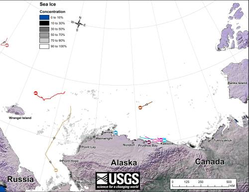 "Original caption: ""Movements of 10 satellite-tagged polar bears for the month of December, 2014. Polar bears were tagged in 2014 on the spring-time sea ice of the southern Beaufort Sea. All ten of these bears have satellite collar transmitters. Polar bear satellite telemetry data are shown with AMSR2 remotely-sensed ice coverage for 31 December, 2014."" Click to enlarge, original image here."
