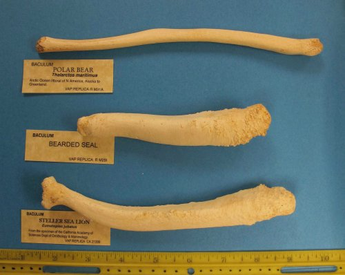 The polar bear baculum (top) is from a young male (you can tell because the ends are not fully formed). These are all casts of the real thing, purchased from professional bone casters Skulls Unlimited.