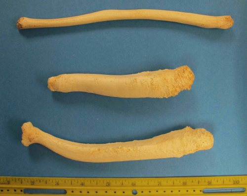 Marine mammal penis bones_not labeled_PolarBearScience_2015_sm