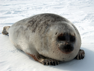 What Do Ringed Seals Eat In The Arctic