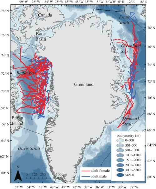 Figure 2. Movements of adult female (red) and adult male (blue) polar bears off East Greenland and in Baffin Bay during the breeding season (April to May) from 2007-2011. This is Fig. 1 from Laidre et al. 2012:2). Note similarities to Fig. 3 below. Click to enlarge.