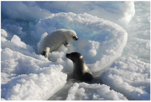 Figure 5. Harp seal and pup, from 2013 press release, photo by Rune Dietz.