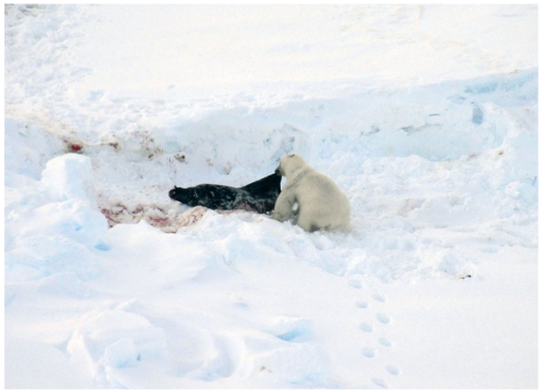 Figure 6. Hooded seal killed by a polar bear in East Greenland, pup, from 2013 press release, photo by Rune Dietz.