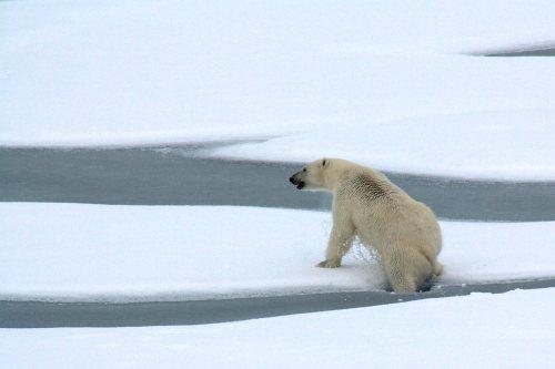 Polar Bear Breaks Ice
