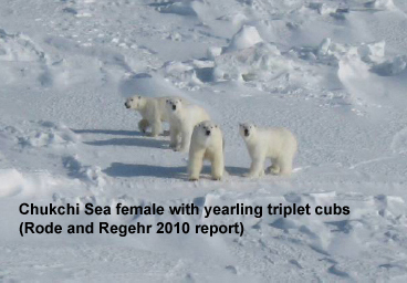 Figure 3. One of the 14 Chukchi Sea polar bear females captured between 2008 and 2011 had triplet cubs – a phenomenon rarely seen outside Western Hudson Bay. All three of her cubs (pictured above) had survived their first year, an astonishing achievement in any region. From a 2010 interim report on Chukchi Sea research, reference here.