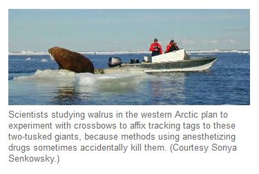 Pacific walrus tagging from a small boat.  UAF Seagrant News 2002.