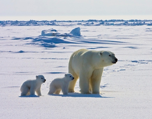 Figure 6. USGS photo of a female with new cubs on the ice, in Alaska.