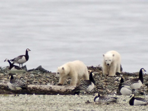 """Young polar bears raid the nesting grounds of barnacle geese, searching for eggs and newly hatched goslings in the Nordenskiöldkysten region of Spitsbergen, Norway."" Jouke Prop photo."