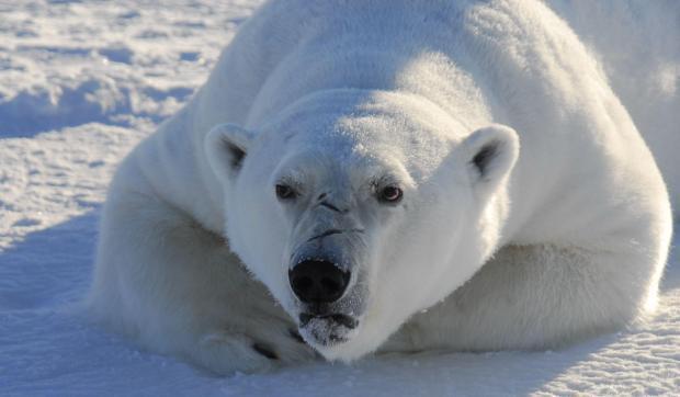Scary Polar Bear Media hype polarbearscience