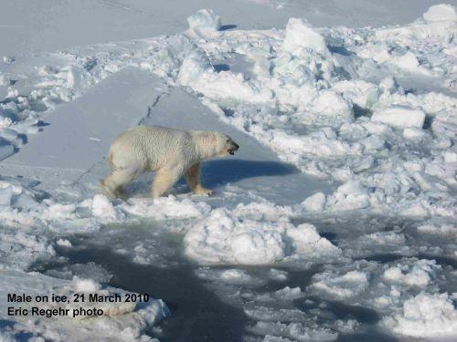 Polar_Bear_male_Regehr photo_March 21 2010_labeled