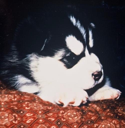 Shuekh_puppy