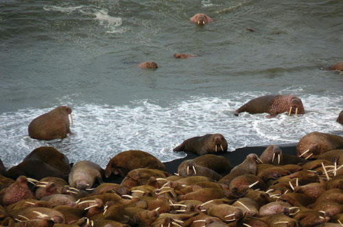 Walruses_USFWS photo_030515_March 2015