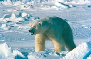 polar_bear_usfws_no date_sm