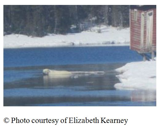 """Photo with this news story (7 May 2015): """"(Update) Polar bear sighting in Croque"""""""