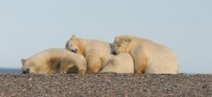 Polar bears USFWS_cover PolarBearNews2013_2014
