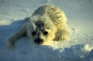 Figure 3. Newborn Barents Sea ringed seal with its white natal coat. Norwegian Polar Institute,Bjorn Frantzen photo.