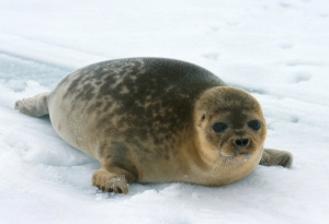 Figure 1. Adult Barents Sea ringed seal, Norwegian Polar Institute, Kit Kovacs photo.
