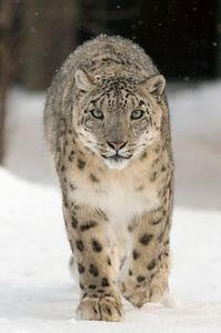Snow leopard Uncia_uncia_wikipedia