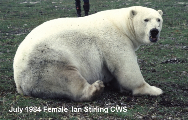 Figure 1. The same very fat female discussed by Ramsay and Stirling (1988:614). Captured in July 1984, she weighed 410 kg (910 lbs) and was too fat to be fitted with a tracking collar (this picture was taken before a tag was put on her head). However, she had been captured 8 months before (November), after the disastrous winter of 1983, when she weighed only 99 kg (218 lbs).  See the recent discussion at Polar Bears International. Picture taken by Ian Stirling, when he worked for the Canadian Wildlife Service.