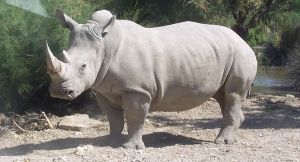 White rhinoceros_wikipedia