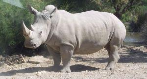 White rhinoceros_wikipedia