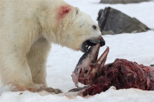 Figure 2. Polar bear feeds on the carcass of a white-beaked dolphin trapped in sea ice near Svalbard on 2 July 2014. This is Fig. 3 from the Aars et al. 2015 paper, photo by co-author Samuel Blanc.