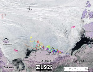"Figure 1. Original caption: ""Movements of 23 satellite-tagged polar bears for the month of May, 2015. Polar bears were tagged in 2014 and 2015 on the spring-time sea ice of the southern Beaufort Sea. Seventeen of these bears have satellite collar transmitters and 6 of these bears have glue-on satellite transmitters. Polar bear satellite telemetry data are shown with MODIS imagery from 22 May, 2015.""  Original image here. North latitude labels added. Click to enlarge."