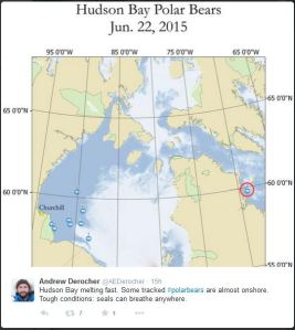 Figure 3. Locations of nine Western Hudson Bay polar bears on 22 June 2015. Tweet from polar bear biologist Andrew Derocher, 23 June 2015.
