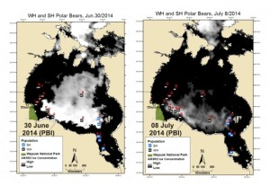 Figure 4. Sea ice coverage and locations of female polar bears with tracking collars for 30 June 2014 and 8 July 2014 (black, Western Hudson Bay bears; blue, Southern Hudson Bay bears), courtesy Alysa McCall, Polar Bears International. Click to enlarge.
