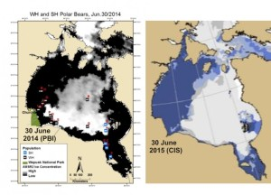 Figure 1. Left, Sea ice coverage and locations of female polar bears with tracking collars for 30 June 2014 (black, Western Hudson Bay bears; blue, Southern Hudson Bay bears), courtesy Alysa McCall, Polar Bears International; Right, sea ice coverage for 30 June 2015, cropped from the CIS daily map. Click to enlarge.